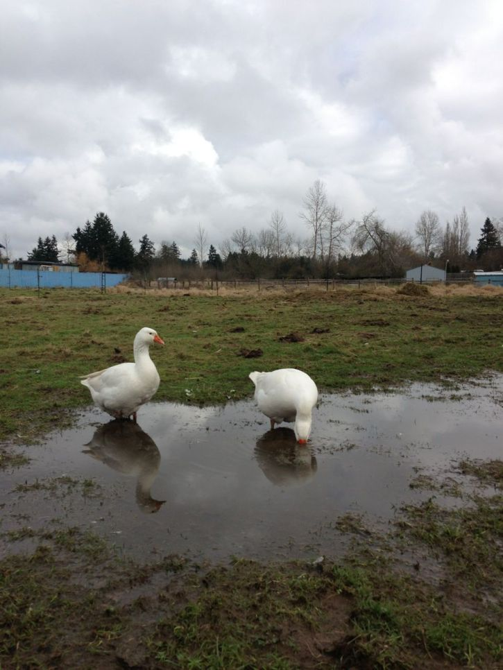 geese puddle