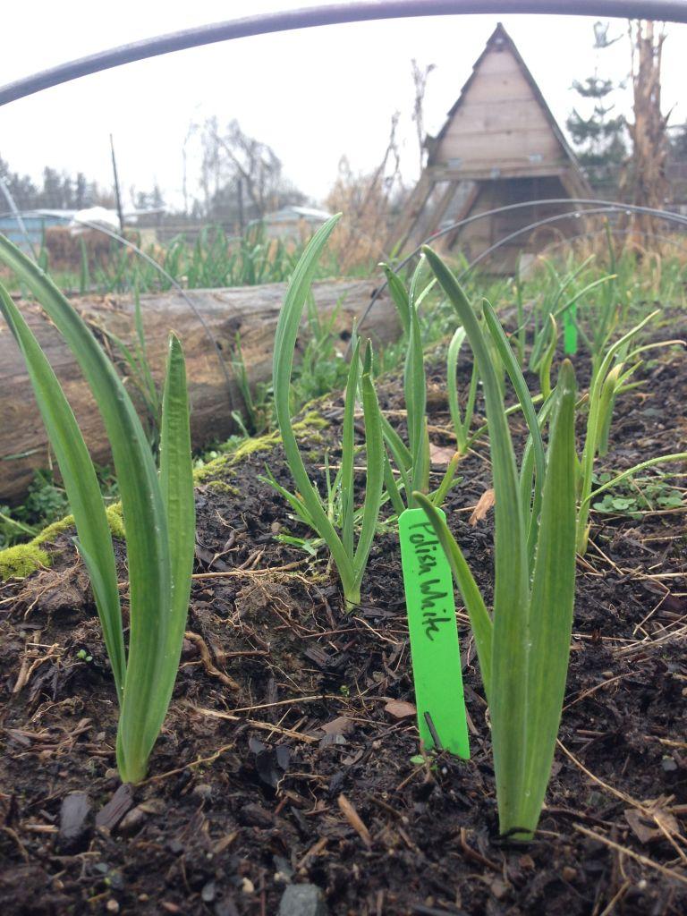 polish garlic