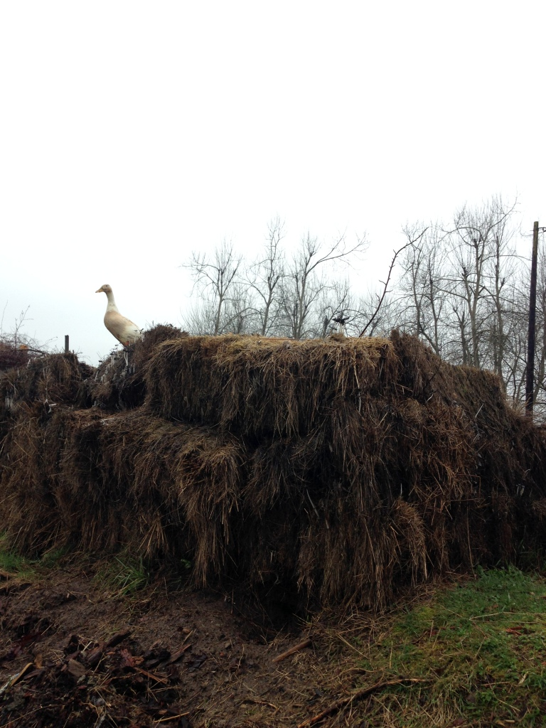 runner duck compost
