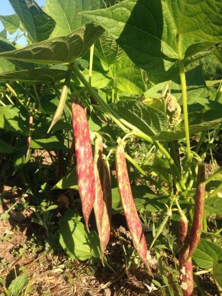 Flambo beans