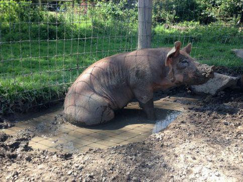 Pig mud hole