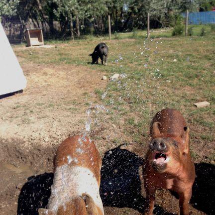 pig water