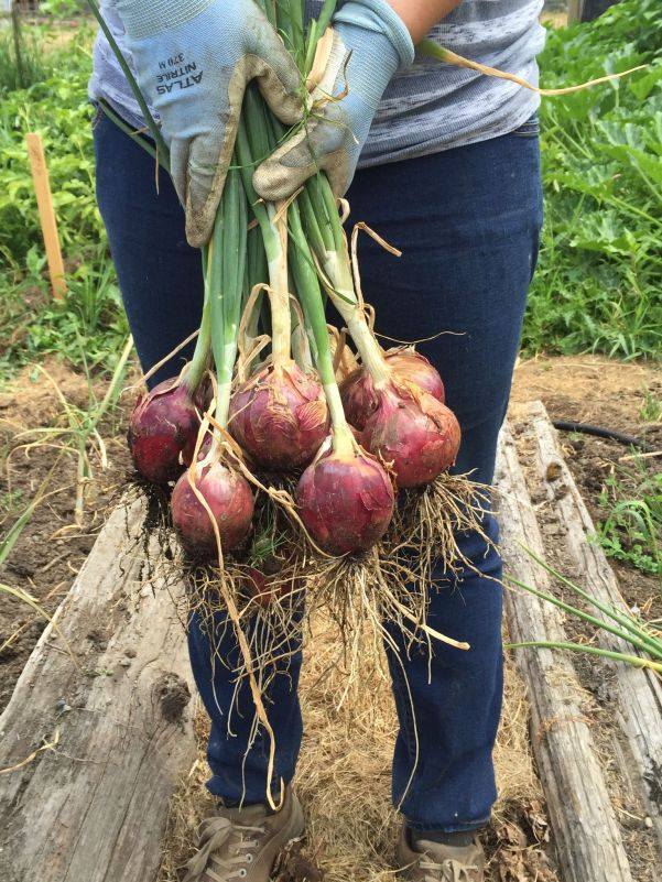 digging onion