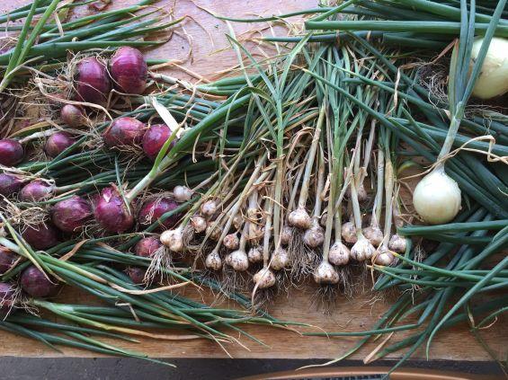 drying garlic onions